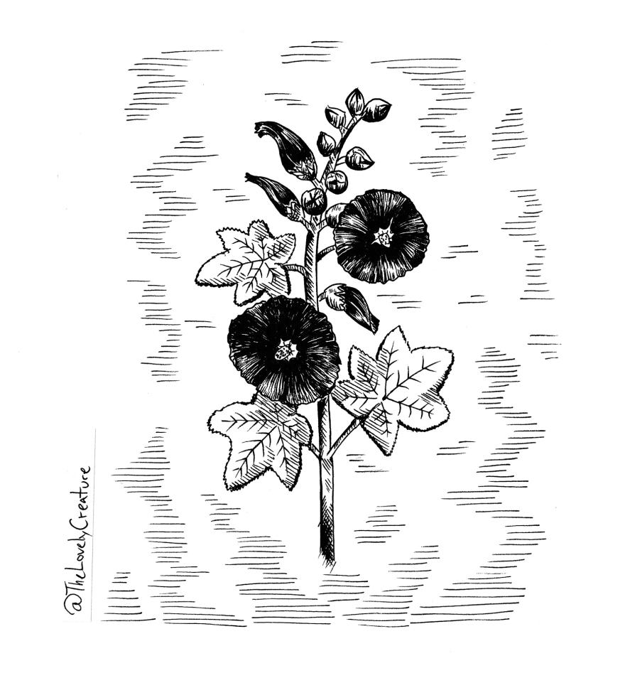 Tegning af en sort stokrose illustration